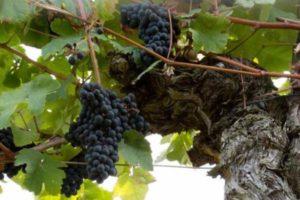 Vignes Château Barrejat